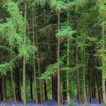 Tall Trees and Bluebells