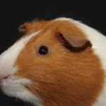 Dutch guinea pig