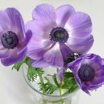 Three Anemones