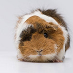 an Abyssinian guinea pig with brown and white coloring