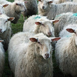 A photo of a flock of sheep