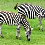 photo of two Grant&#x27;s zebras browsing in a field 
