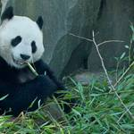 giant panda in Edinburgh zoo, eating bamboo