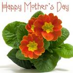 primulas and text reading Happy Mother&#x27;s Day