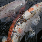 A photo of koi carp with one breaking the surface of the water
