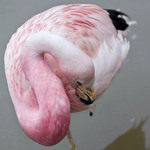 A photo of a pink flamingo with its head tucked into its body