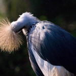 a photo of a crested crane