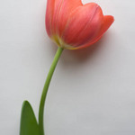 photo of a single red tulip