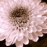 photo of pink chrysanthemum
