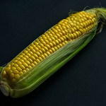 photo of indian corn, corn on the cob with tassels