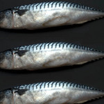 photo of three mackerel