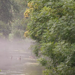 two ducks in the mist on a river in the Cotswolds in England