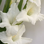 Gladioli