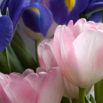 Irises &amp; Tulips