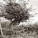 Tree in Sussex