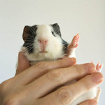 A photo of a black and white guinea pig being held