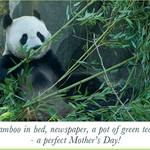 Panda sitting eating bamboo -  with text about Mother's Day
