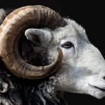 Herdwick sheep or ram in profile
