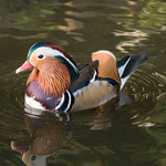 a photo of a mandarin duck on the water in full plumage