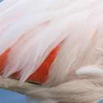 a close-up photo of a flamingo's feathers