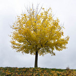 photo of lone tree with golden leaves